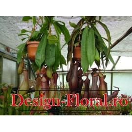 Nepenthes- Planta ulcior