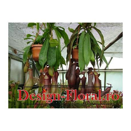 Nepenthes- Planta cu ulcior