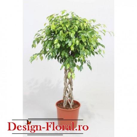 Ficus Exotica Tube