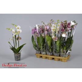 Orhidee in ghiveci Phalaenopsis- 2 tije