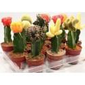 Gymnocalicium- Cactusi