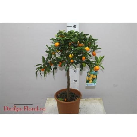 Citrofortunella Kumquat