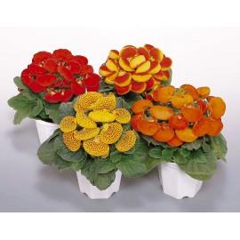 Calceolaria- Condurul Doamnei