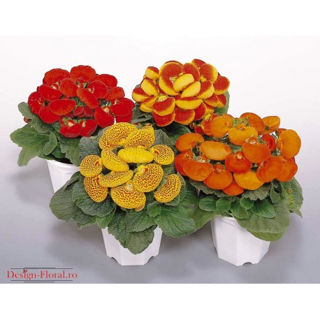 Calceolaria- Condura Doamnei