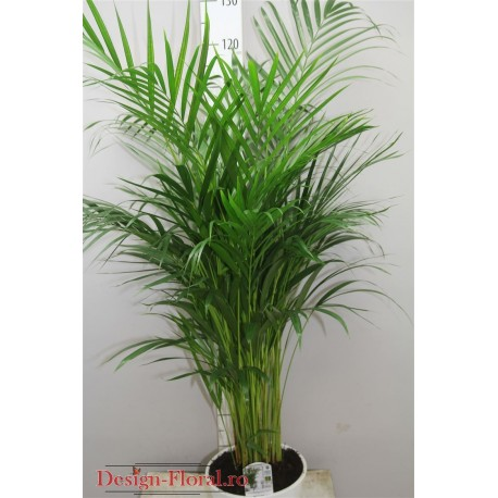 Chrysalidocarpus - Palmier Areca