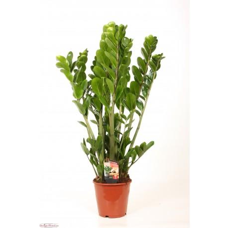 Zamioculcas zamiifolia, planta in ghiveci