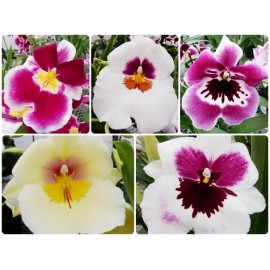 Orhidee Miltonia - Orhideea Panseluta