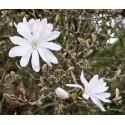 Magnolia Stelata