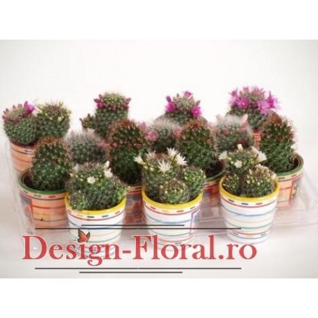 Cactusi Mammillaria mix