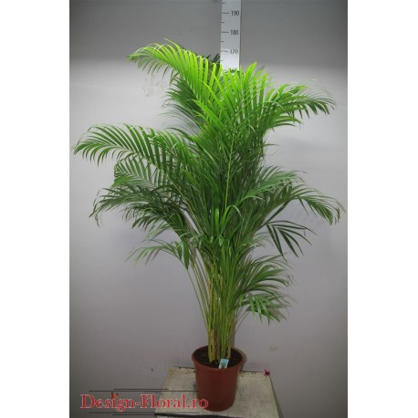 Palmier Areca 170 cm