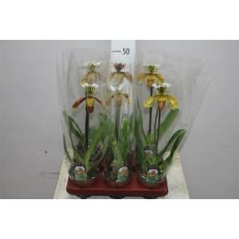 Orhidee Paphiopedilum