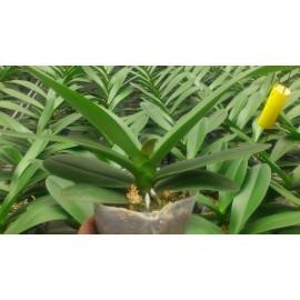 Orhidee Phalaenopsis fara flori