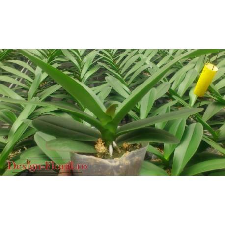 Orhidee Phalaenopsis fara floare