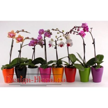 Orhidee Phalaenopsis mini