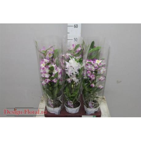 Orhidee Dendrobium Nobile bicolora