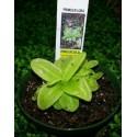 Pinguicula- planta carnivora