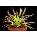 Drosera Capensis - Planta insectivora