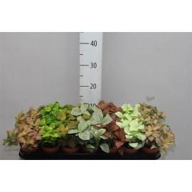 Fittonia - planta mozaic