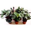 Calathea mix- Planta paun