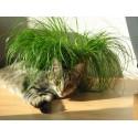 Cyperus Alt Zumula- Iarba pisicii