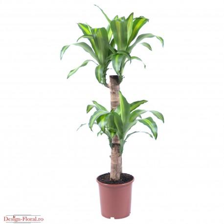 Dracaena massangeana - Trunchiul fericirii