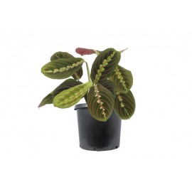 Maranta Fascinator- Planta care se roaga