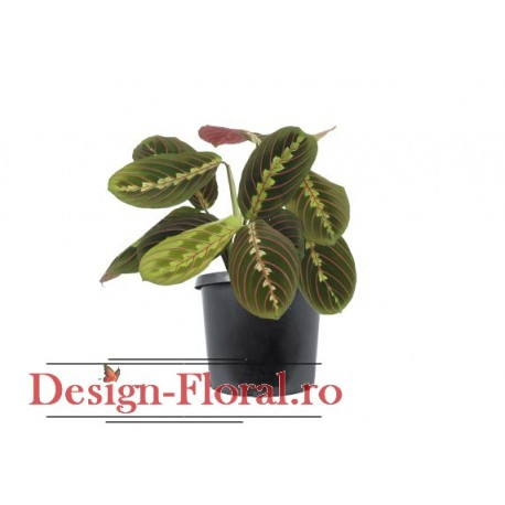 "Maranta Fascinator- ""Planta care se roaga"""