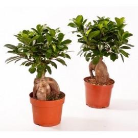 Bonsai ficus ginseng p12