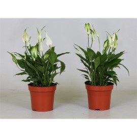 Spathiphyllum Bertoni - Crinul Pacii