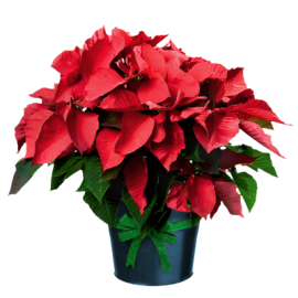 Euphorbia Pulcherrima - Steaua Craciunului
