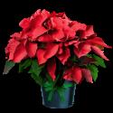 Euphorbia - Steaua Craciunului