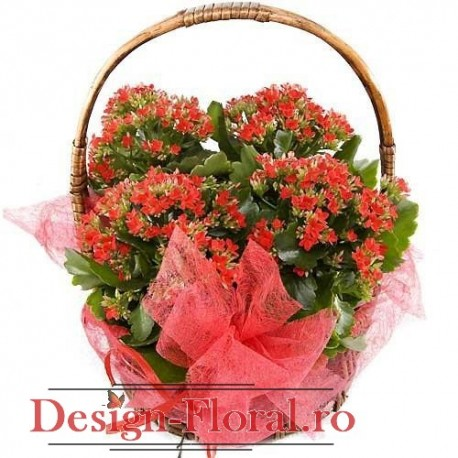 Cos floral Kalanchoe Calandiva