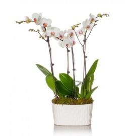 Aranjament orhidee Phalaenopsis in ghiveci