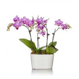 Aranjament in vas ceramic din orhidee Phalaenopsis
