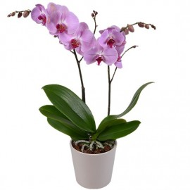 Orhidee Phalaenopsis 2T in vas deco