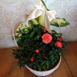 Aranjament floral plante in ghiveci