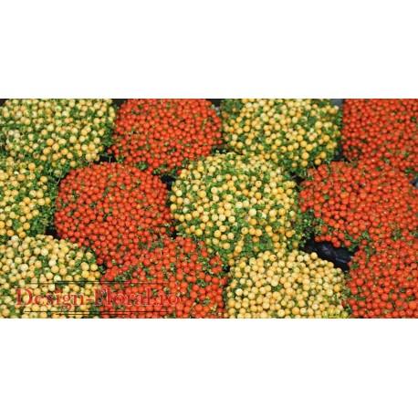 Nertera mix - Planta de coral