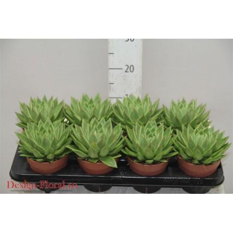 Echeveria Agavoides- Planta suculenta
