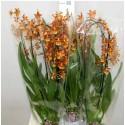Orhidee Cambria Odontocidium Catatante