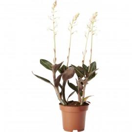 Orhidee Ludisia Discolor