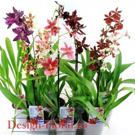 Orhidee Cambria mix 50 cm