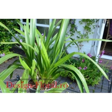 Orhidee Cymbidium fara floare