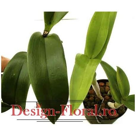 Orhidee Cattleya fara flori