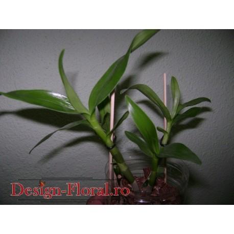 Orhidee Dendrobium fara flori