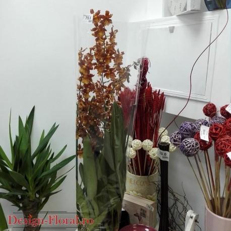 "Orhidee Odontocidium Catante ""Pacific Sun Spots"""