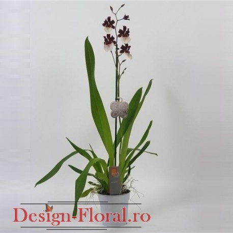 Orhidee Miltonidium Bartley Schwartz
