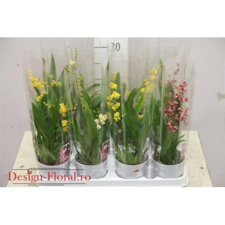 Orhidee Oncidium Twinkle mix