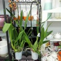 Orhidee Odontocidium Catante fara flori
