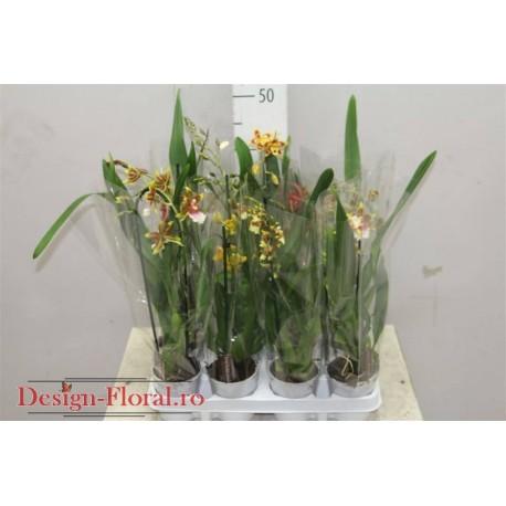 Orhidee Cambria mix 40 cm