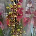 "Orhidee Oncostele Wildcat ""Yellow Butterfly"""